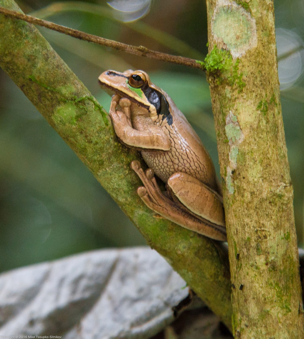 Tree frog in Manuel Antonio National Park