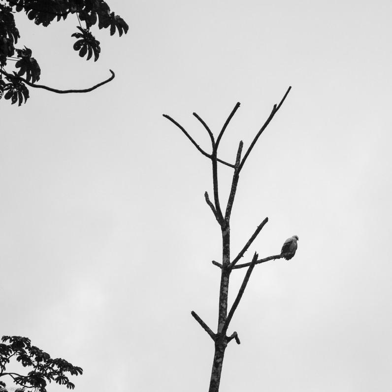 Caracara falcon