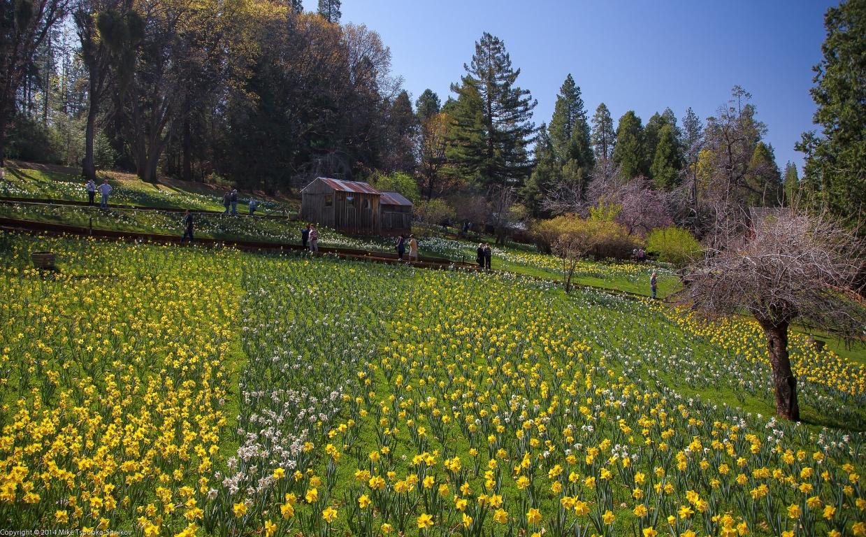 Daffodil Hill in March