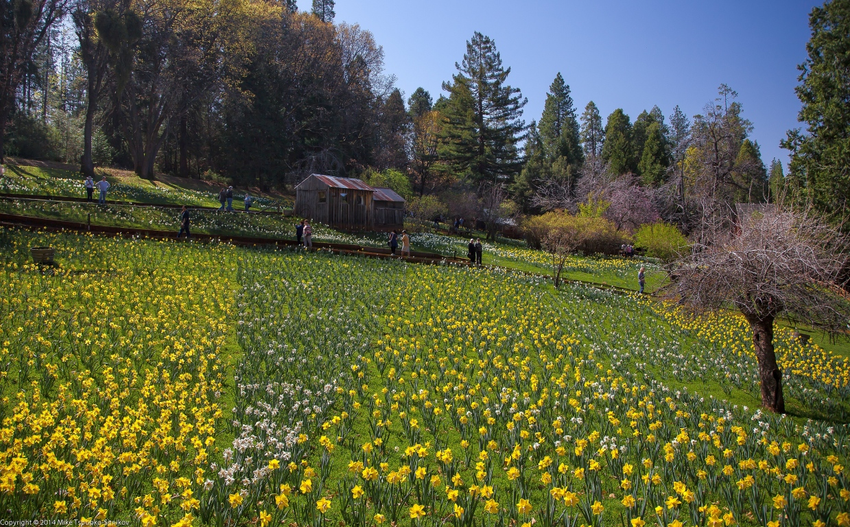 Daffodil Hill in March